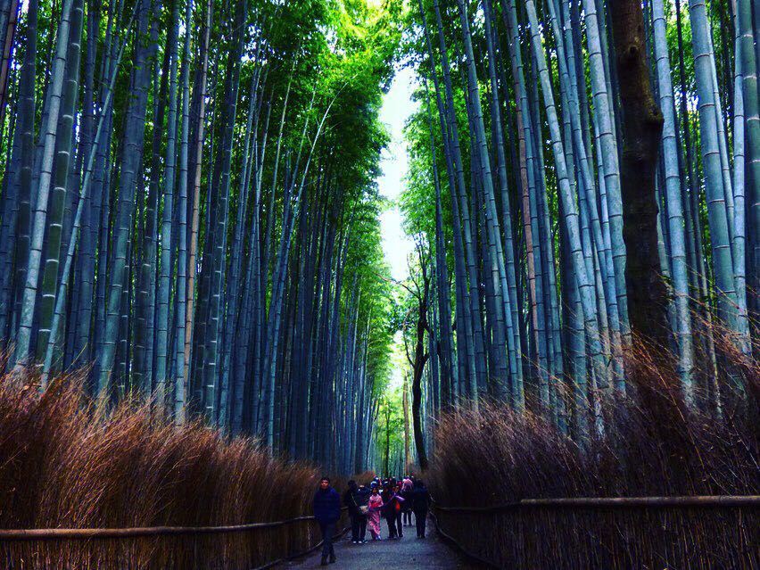 bamboo groves kyoto highlight