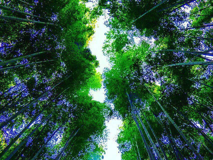 Bamboo groves arashiyama kyoto