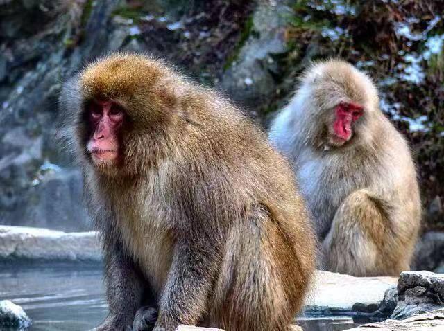 jigokudani snow monkey park